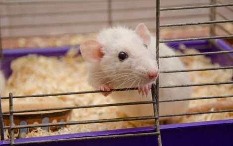 Behavioral Tests on Mice May Help Identify Therapies for Angelman Trials