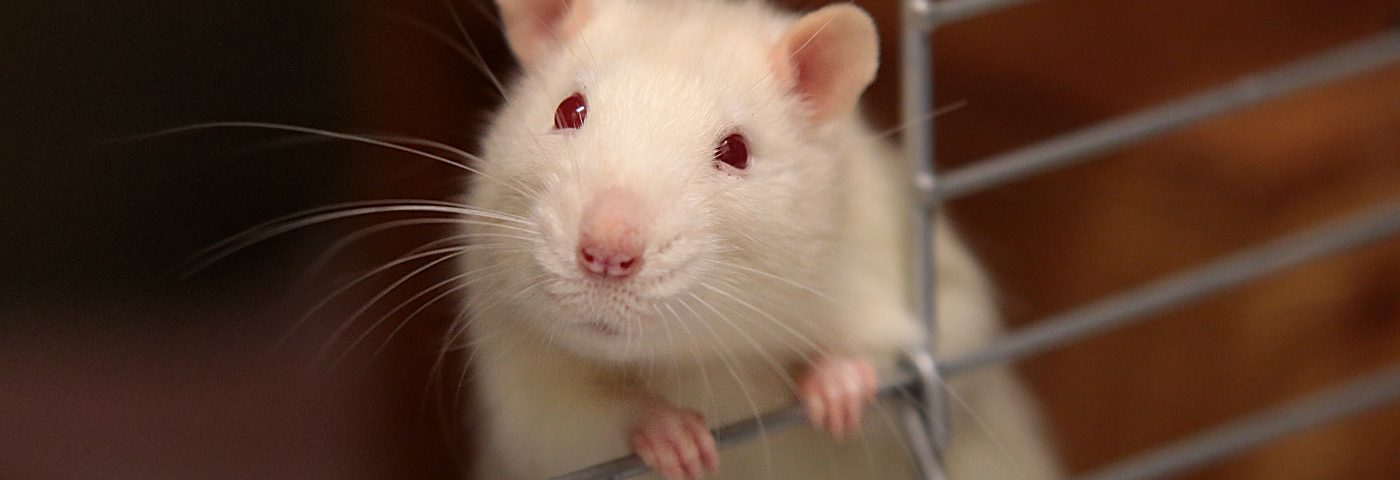 New Rat Model Of Angelman Syndrome Might Advance Search for Therapies